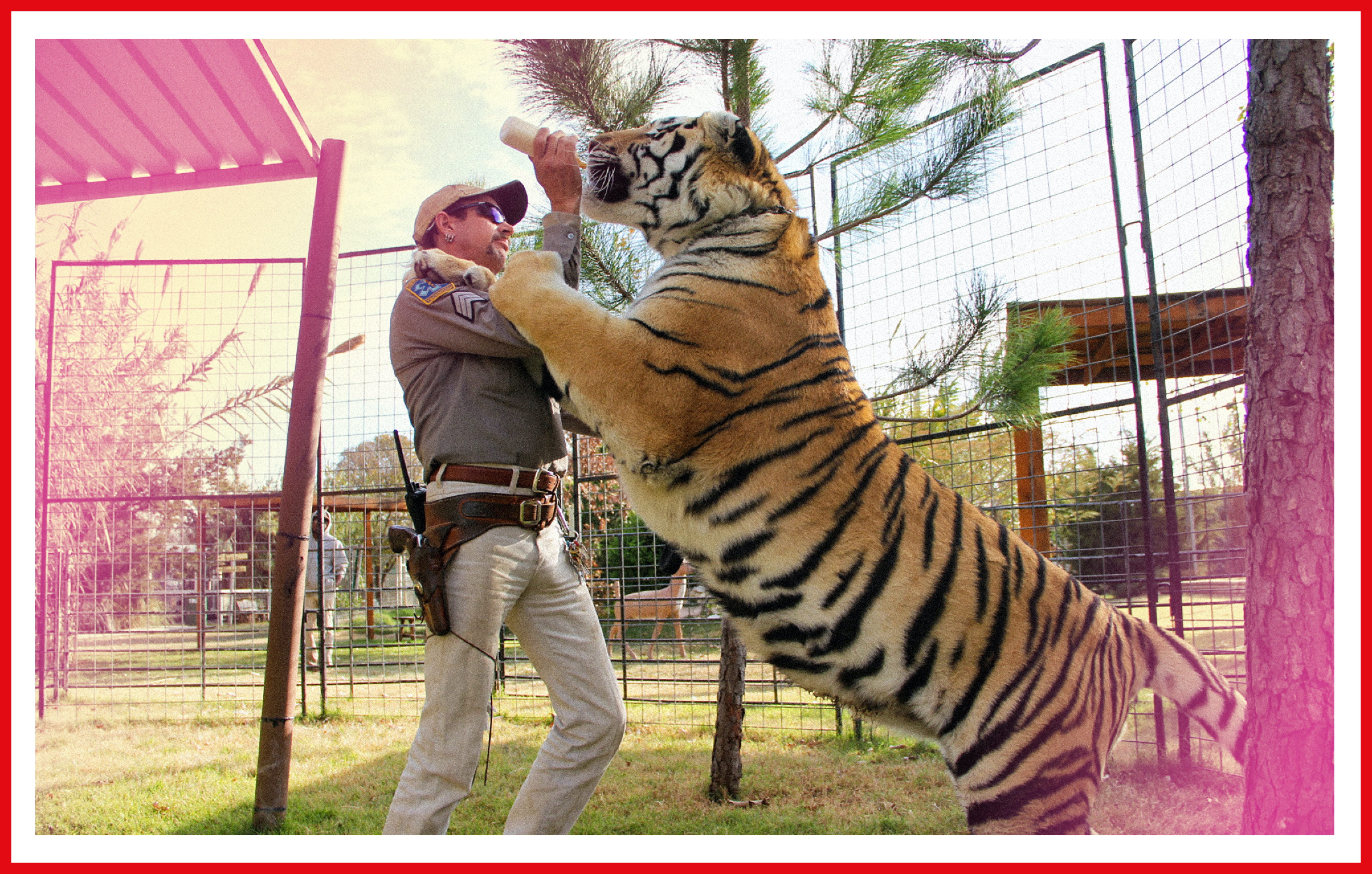 Joe Exotic bottle-feeds an eager tiger.